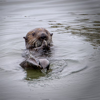 Otter With Mussel
